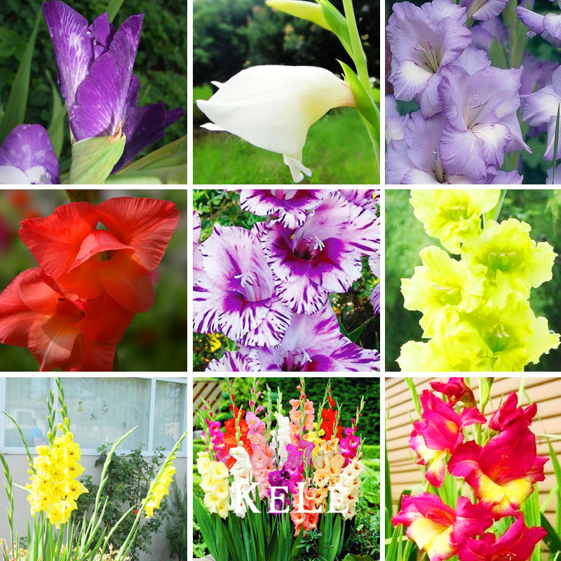 New Fresh Seeds Gladiolus Seeds Aerobic Potted Plants Potted Rare sword Lily Gladiolus Flower Seeds Perennial 100 Seed/lot,#2TG(China (Mainland))