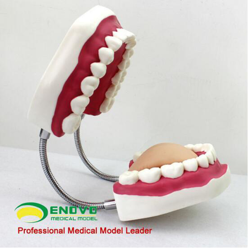 Фотография Large Dental Care Education Tooth Models with Tooth Brush from China