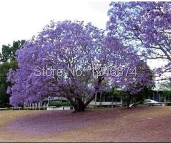 120 Paulownia Seeds (princess tree or empress tree...