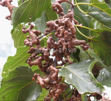 Buy New Home Garden Plant 30 Fresh Seeds Green Japanese Raisins Tree, Hovenia Dulcis, Hardy! Tree Fruit Semillas Seeds Free for $1.10 in AliExpress store