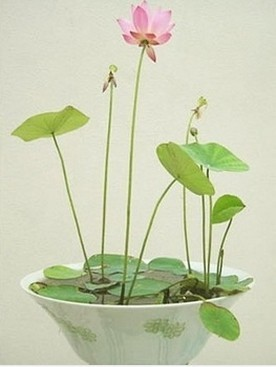 Mix order $5 Many colors lotus seeds mixed order !Teach you plant the Lotus/Bowl of Ephraim will send you mysterious gift