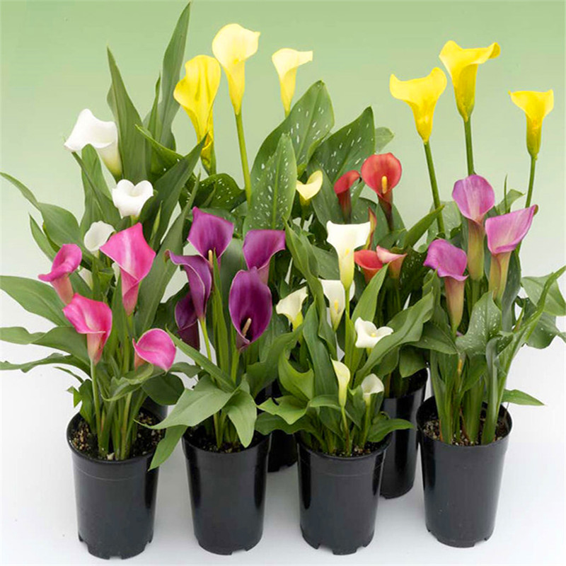 50 pcs calla seeds, beautiful multicolour to choose from, potted plants, bonsai flower seeds for DIY home and garden(China (Mainland))