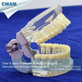 CMAM DENTAL12 Transparent Jaw Model with Teeth for Self Brushing Educaion