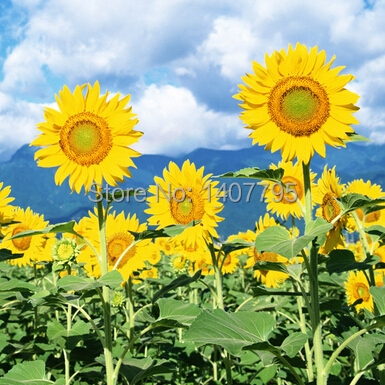 10pcs / bag Giant Sunflower seeds, garden plants flowers seeds(China (Mainland))