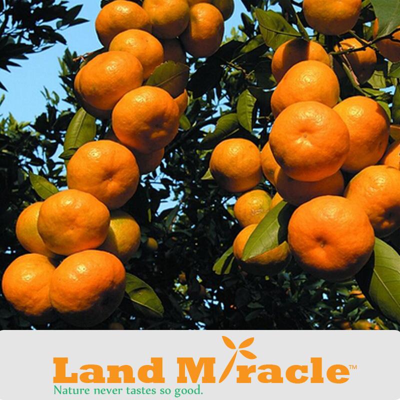 50 seeds / Pack, Juicy Sweet Orange Seeds, Garden Woody Plants Mandarin Orange Tree Seeds #M198(China (Mainland))