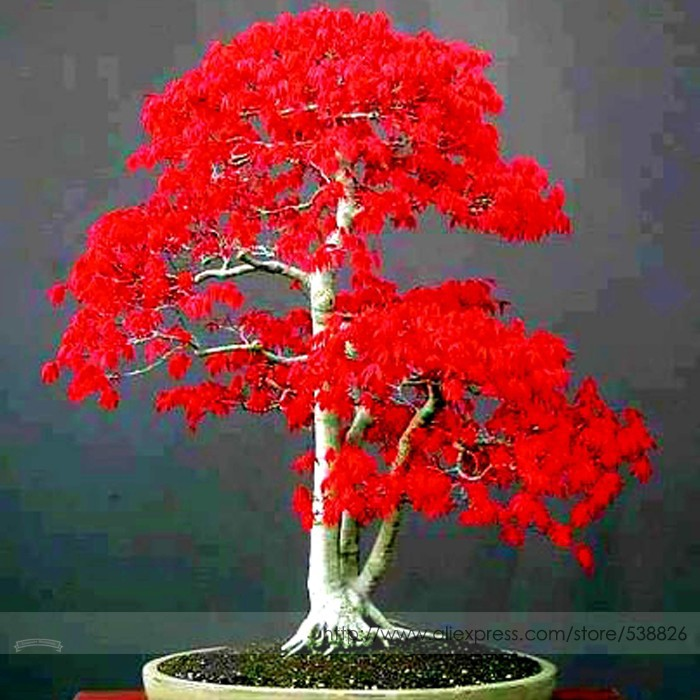 красное клиновое японское дерево фото