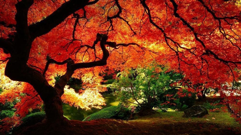 Sala de estar de casa decoração da parede cartaz tecido Outono maple árvores do parque 12x18 20x30 24x36 Silk Tecido Canvas(China (Mainland))