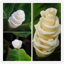 100PCS Calathea warscewiczii seeds Ice Cream Flowers seeds White Lovely Flower Gift for lover Garden Bonsai Rose FREE SHIPPING(China (Mainland))