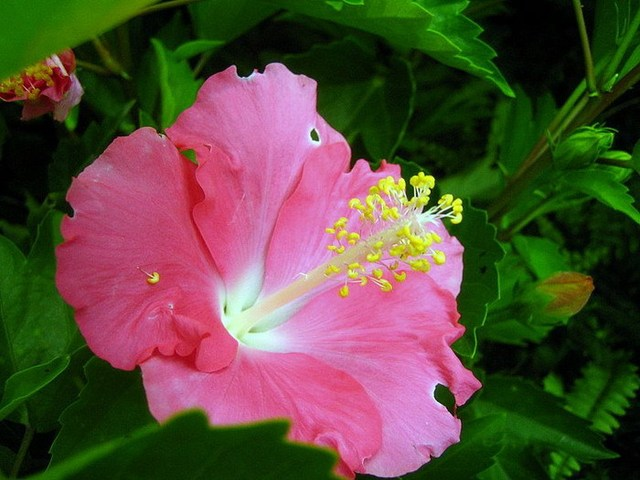 Multicolor Mixed 60 Hibiscus Seed 24 Varieties , HIBISCUS ROSA-SINENSIS Seeds Free shipping