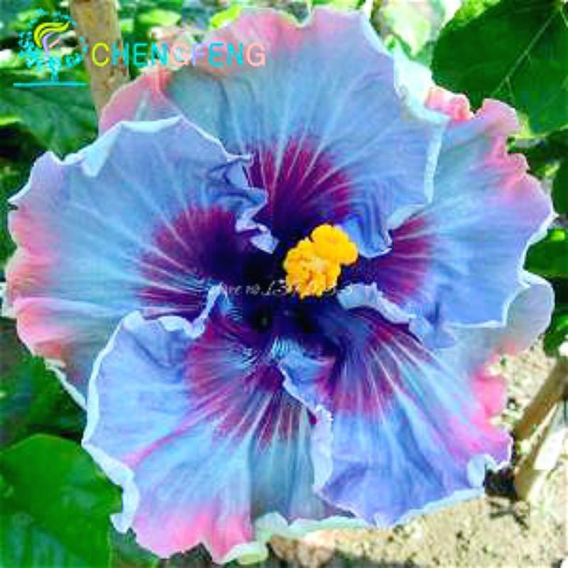 plantas de flores ex ticas compra lotes baratos de plantas de flores ex ticas de china. Black Bedroom Furniture Sets. Home Design Ideas