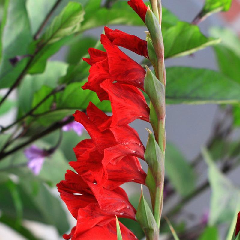 Цветы семейства гладиолусов