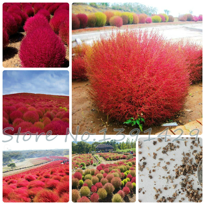 Grass seeds Perennial 100pcs Grass Burning Bush Kochia Scoparia Seeds Red Garden Ornamental easy grow(China (Mainland))