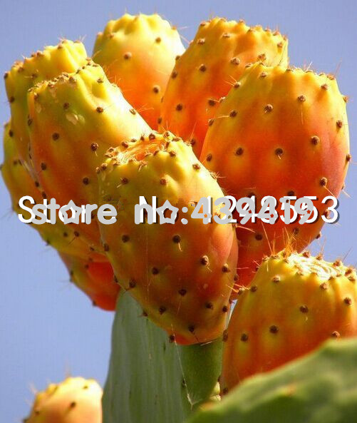 11.11 Promotion!!! Promotion!!! 200 pcs Prickly pear cactus- edible fruit seeds flower garden bonsai,Opuntia Leptocarpa, rare ,s(China (Mainland))