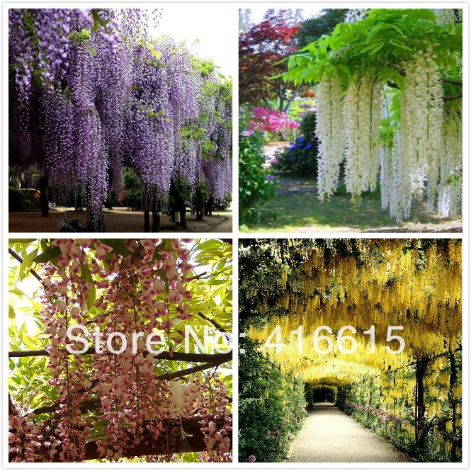 Садовые цветы глициния