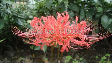 online kaufen gro handel red spider lilie aus china red. Black Bedroom Furniture Sets. Home Design Ideas