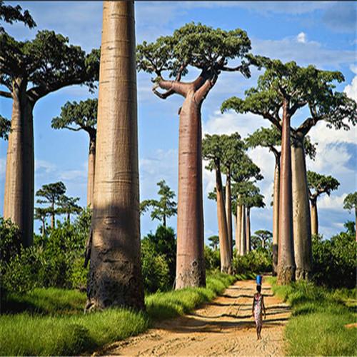 plantes tropicales baobab