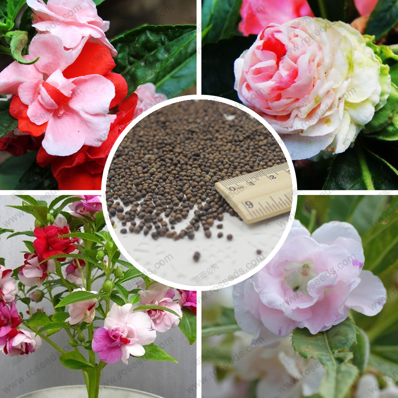 100% true camellia impatiens seeds color and more Garden Balsam Impatiens balsamina seeds potted flowers - 100 pcs(China (Mainland))