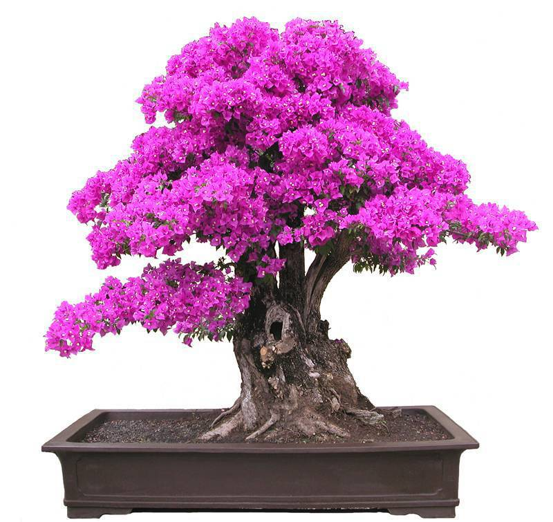 2014 New Real Blooming Plants Plants Sementes De Flores 50 Seeds Bougainvillea Spectabilis Willd Bonsai Plant