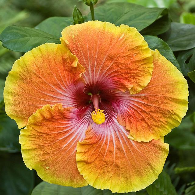 Plantation Hibiscus Graines Promotion-Achetez des ...