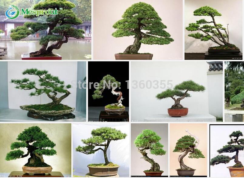 Promotion Pine tree seeds Hot Sale Pinus thunbergii seeds bonsai seeds DIY home garden free shipping - 60pcs(China (Mainland))