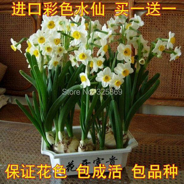 Wholesale winter fragrant flower plant daffodil bulbs colorful daffodil seedlings imported more meat Landscape Plants(China (Mainland))