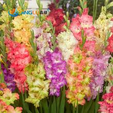 50 Seeds / Pack, Different Perennial Gladiolus Flower Seeds, Rare Sword Lily Seeds