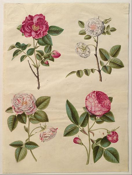 product Art Canvas Prints World Famous Artists Oil Painting Giclee Johannes Simon Holtzbecher - Rosa Gallica