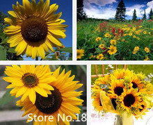 flower seeds, sunflower seeds oil, a bag free shipping,about 100 particles Bonsai Seed(China (Mainland))