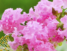 2000pcs a Set Lagerstroemia indic Tree Seed(China (Mainland))