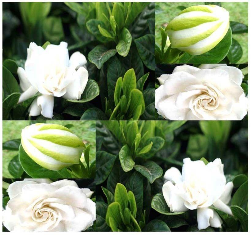 Gardenia fiore pianta acquista a poco prezzo gardenia - Gardenia pianta da giardino ...