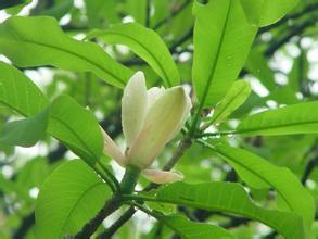 1kg 10:1 Magnolia Bark Extract powder Mangnolia officinalis bark extract powder