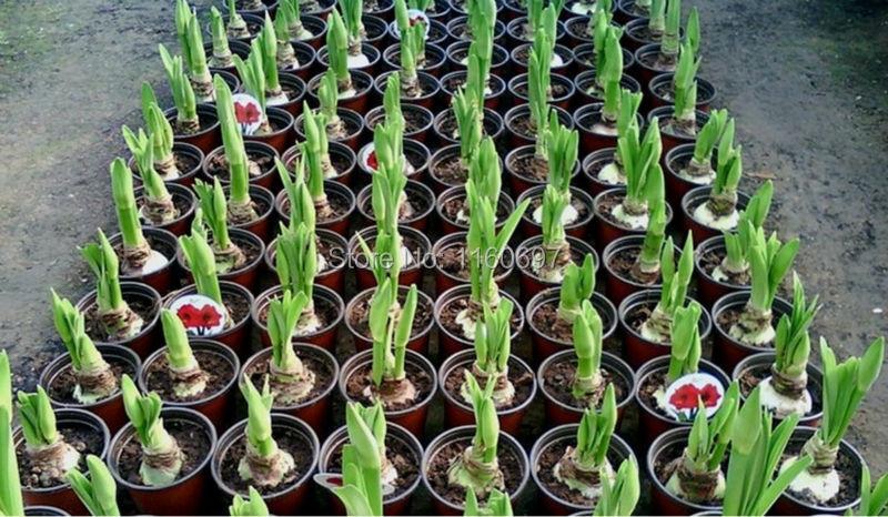Выращивание амариллисов 98