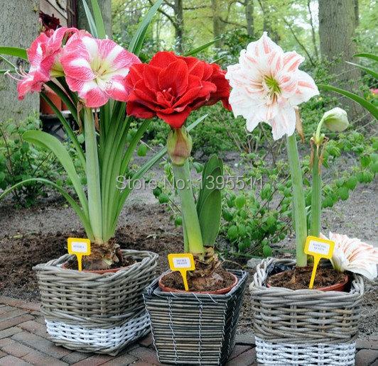 100 bag flor de azucena semillas barbadoslily hippeastrum for Azucena plantas jardin