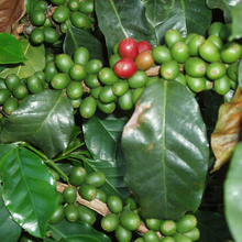 JinQing Yunnan Baoshan Civet Civet Cat Cat Feces Coffee Special Type Best Quality Coffee Green Beans