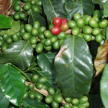 JinQing Yunnan Baoshan Civet Civet Cat Cat Feces Coffee Special Type Best Quality Coffee Green Beans