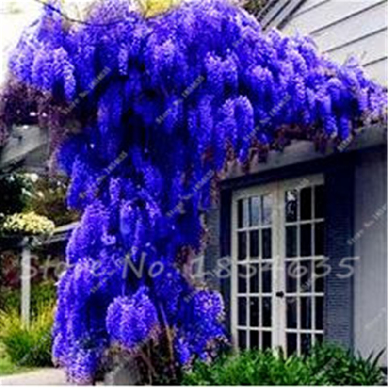 New Arrival 20 Pcs Climbing Flower Blue Wisteria Tree Seeds Indoor Ornamental Plants Seeds Wisteria Flower Seeds For Home Garden(China (Mainland))