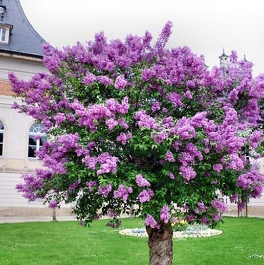flores jardim perenes : flores jardim perenes:Free Garden Seeds