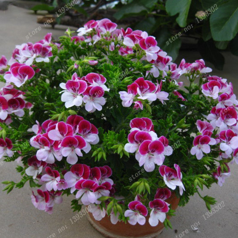 Potted red geraniums the image kid has it for Plantas para jardin exterior