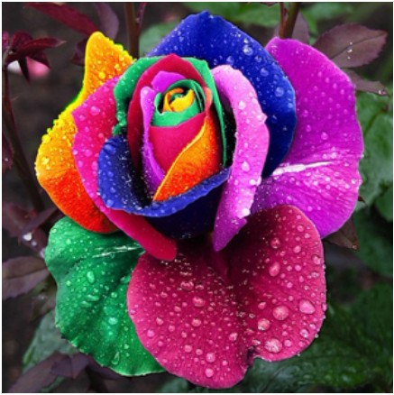 200pcs/bag multicolor roses seed any Sowing seasons courtyard balcony flowers plant rose(China (Mainland))