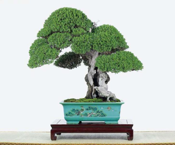 Zeldzame 50 japanase zwarte den boom zaden vijf leaved pijnboom zaden worden pak voor bonsai - Versieren kantoor ...