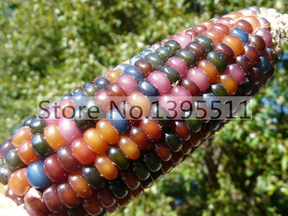 1bag=20pcs rare rainbow corn seed Organic Glass Gem Native American Heritage Corn Seeds home & garden gift free shipping plant(China (Mainland))
