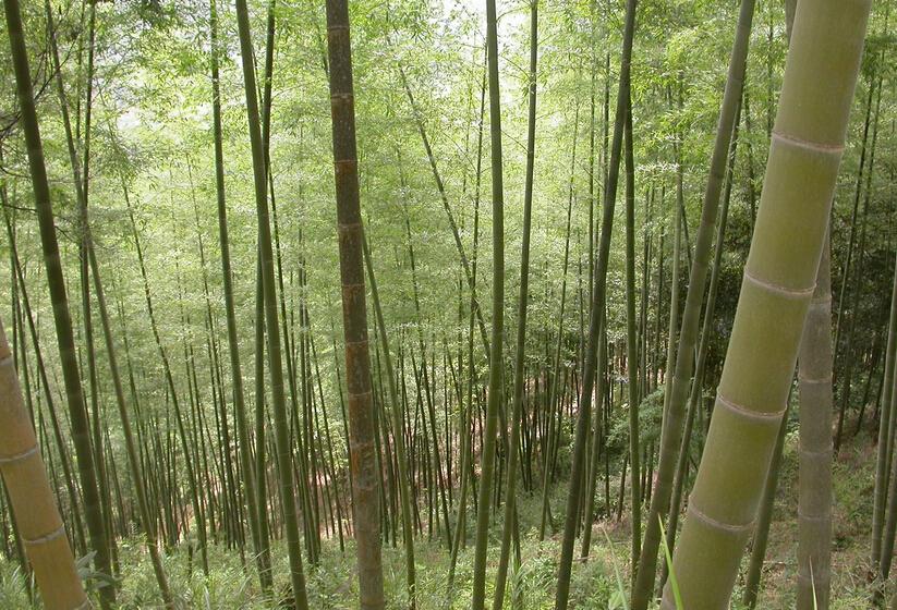 fresh giant moso bamboo seeds MOSO BAMBOO Tree seeds 100 seeds bag