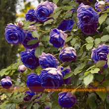 Buy Top Selling Purple Climbing Rose Seeds, 100 Seeds/Pack, Chinese Rose Rare Bush Flower Tree Plant Garden SOW ALL YEAR for $1.13 in AliExpress store