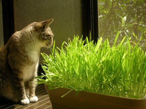 5 Pack 1000 Seed Cat Grass Seeds For Your Cat Food Pet Food Pet Grass Seed L001(China (Mainland))