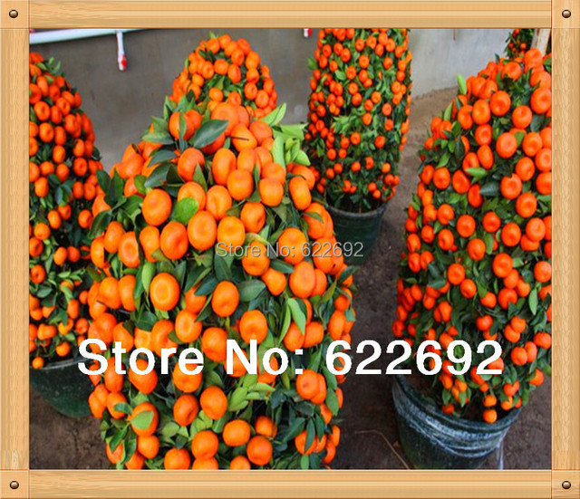 200 Pcs Mini Potted Edible Fruit Seeds Bonsai Orange Seeds China (Quanzhou) Climbing Orange Tree Seeds Climbing Plants