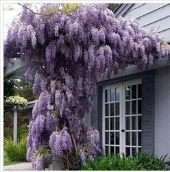 35pcs/bag hot selling Purple Wisteria Flower Seeds for DIY home garden
