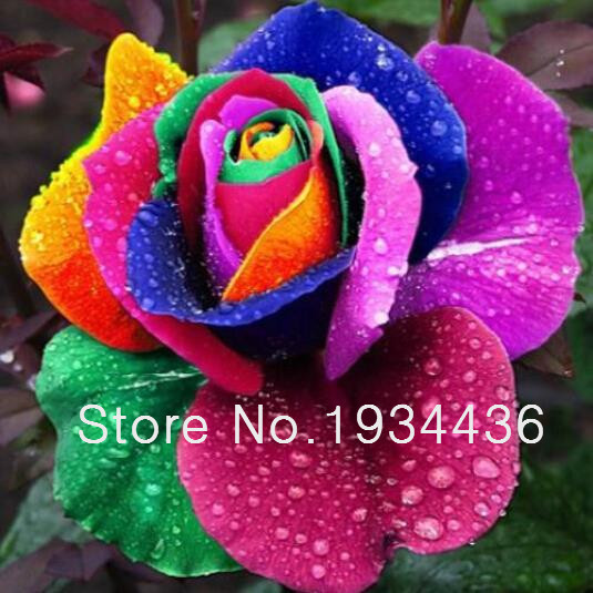 Rare holland rainbow rose flower seeds 10 pcs lot in for Holland rainbow rose seeds