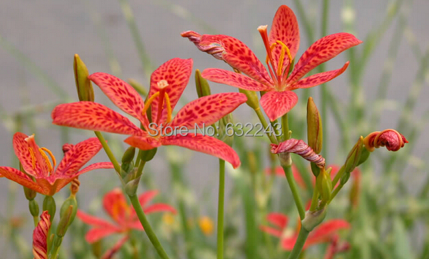 DIY Home Garden Plant 20 Seeds FRECKLE FACE BLACKBERRY / LEOPARD LILY Flower Seeds Free Shipping(China (Mainland))