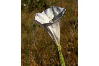 datura flower extract / Flos Daturae extract 20:1