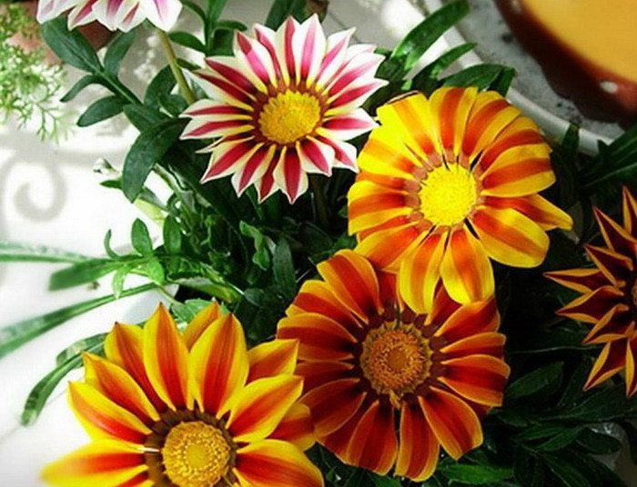 1 Pack 250 Seed beautiful Gazania Flower seeds - yuelan song's store